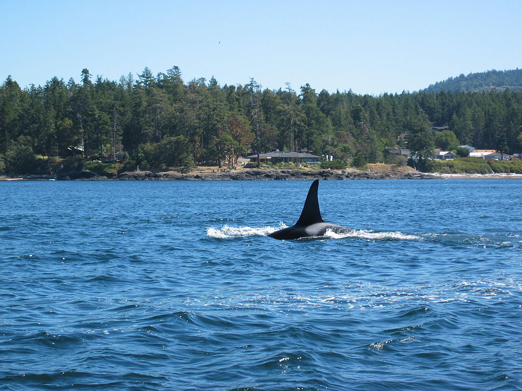Bull killer whale approaching a whale watching boat in the Strait of Juan de Fuca near Victoria BC in the summer of 2004. Credit Kevin Stanley on Wikimedia.