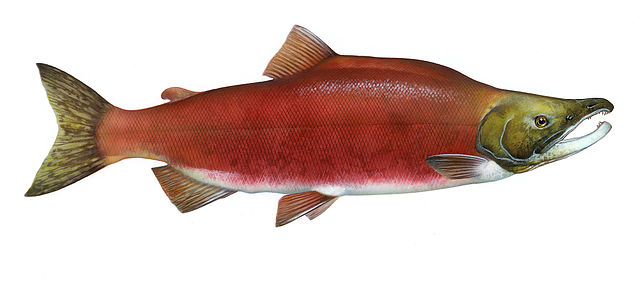 Sockeye salmon (Oncorhynchus nerka) from the Northern Pacific Ocean. Timothy Knepp of the Fish and Wildlife Service. Image credit Wikimedia.