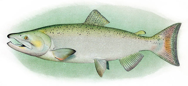Chinook Salmon, Adult Male. Scanned from plates in Evermann, Barton Warren; Goldsborough, Edmund Lee (1907) The Fishes of Alaska. Photo credit Wikimedia.