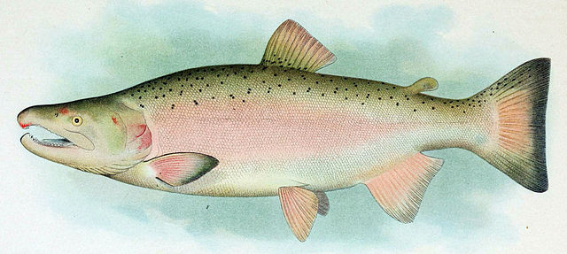 Coho Salmon Breeding Male. Scanned from plates in Evermann, Barton Warren; Goldsborough, Edmund Lee (1907) The Fishes of Alaska. Image credit Wikimedia.