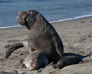A male, female, and pup elephant seal at Piedras Blancas in California.