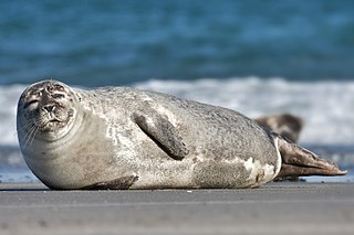 A harbour seal basking in the sun.