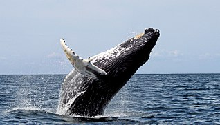 Humpback whale breaching at the Stellwagen Bank National Marine Sanctuary.