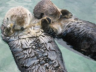 Sleeping sea otters holding hands, photographed at the Vancouver Aquarium.