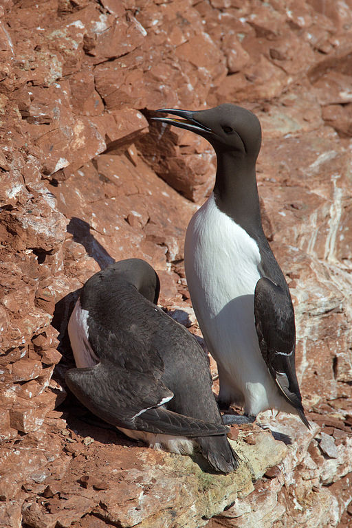 A common murre, Uria aalge. Credit to Andreas Trepte, www.photo-natur.net.