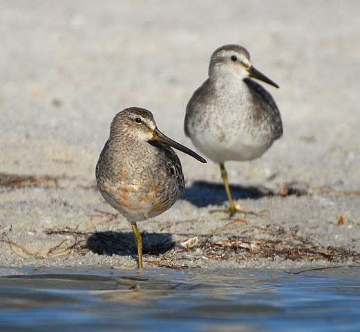 A short-billed dowitcher with a red knot (listed as vulnerable) in the background. Credit to Matt Edmonds on Wikimedia.