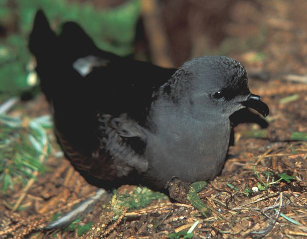 A Leach's storm petrel, Oceanodroma leucorhoa. Credit to C Schlawe from the National Digital Library of the United States Fish and Wildlife Service.
