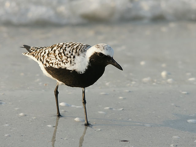 A black-bellied plover, Pluvialis squatarola. Credit to Hans Hillewaert on Wikimedia.
