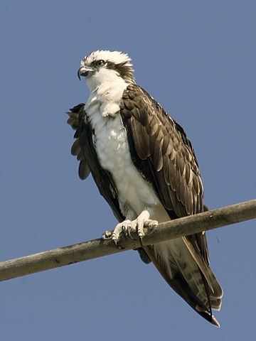 An osprey, Pandion haliaetus. Credit to Mike Baird on Flickr.