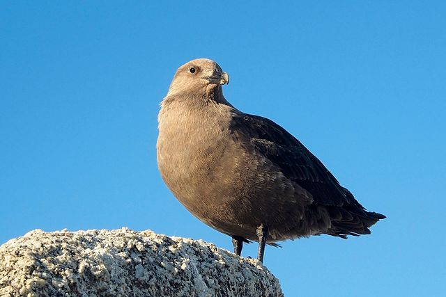 A south polar skua, Stercorarius maccormicki. Credit to Paride Legovini on Wikimedia.