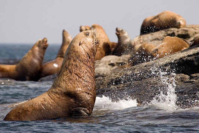 A group of Steller Sea Lions spotted during a whale watching tour near Vancouver Island, BC.